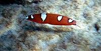 Coris gaimard juvenile by NPS