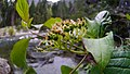 Cornus sericea ssp. occidentalis with green fruits.jpg