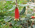 Correa reflexa var. angustifolia02.jpg
