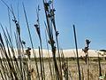 Corrubedo-Flores secas y la duna (5911176135).jpg