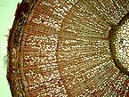 Corylus avellana12.jpg