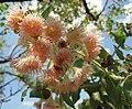 Corymbia dunlopiana.jpg
