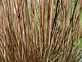 Corynephorus canescens Kiev2.jpg