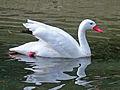 Coscoroba Swan RWD3.jpg
