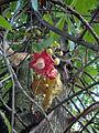 Couroupita guianensis (3).JPG