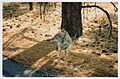 Coyote photo 2 on the side of the road near Sonoran Desert National Monument, Arizona, USA.jpg
