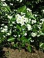 Crataegus laevigata (subsp. laevigata) sl25.jpg