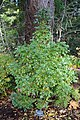 Crataegus monogyna 'Inermis Compacta' - Dunsmuir Botanical Gardens - DSC02927.JPG