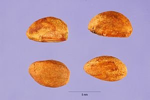 Pyrena - Pyrenes extracted from a single fruit of Crataegus punctata