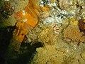 Cremnochorites capensis DSC09271.JPG