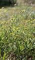 Crepis setosa inflorescence (34).jpg