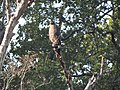 Crested Serpent Eagle - Spilornis cheela - DSC04831.jpg