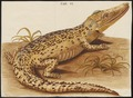 Crocodilus vulgaris - 1700-1880 - Print - Iconographia Zoologica - Special Collections University of Amsterdam - UBA01 IZ12200080.tif