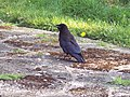 Crow - geograph.org.uk - 424140.jpg