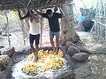 Crushing of cashew fruits.JPG