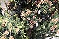 Cryptomeria japonica Black Dragon 6zz.jpg