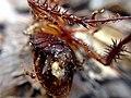 Cucaracha muerta y hormigas.jpg