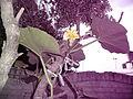 """Cucurbita maxima """"zapallo plomo"""" (Costanzi temp2) flor femenina F03 vista lateral-superior antesis orientación.JPG"""