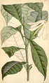 Curtis's Botanical Magazine, Plate 4343 (Volume 73, 1847).png