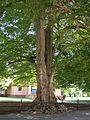 Cutleaf European Beech Tree in front of Redwood Library and Athenaeum, Newport, RI - August 29, 2015.jpg