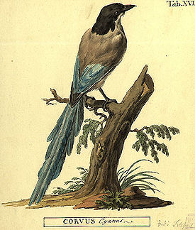 Cyanopica cyanus by Peter Simon Pallas.jpg