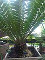 Cycadales - Encephalartos ferox - kew 1.jpg