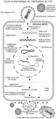 Cycle du VIH.png