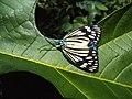 Cyclosia papilionaris - Drury's Jewel - at Peravoor (9).jpg