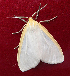 <i>Cycnia</i> Genus of insects