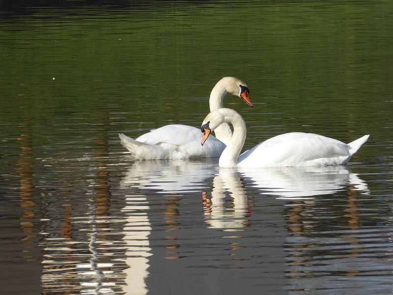 Cygnes tuberculés nageant sur le canal de la Marne au Rhin à Nancy.