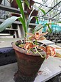 Cymbidium iridioides-3-bsi-yercaud-salem-India.jpg