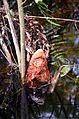 Cypress knee (Taxodium distichum) 2.jpg