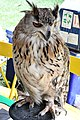 D85 1780 Siberian Eagle Owl Photographed by Trisorn Triboon.jpg
