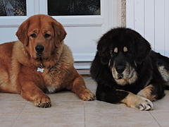 DOGUE DU TIBET TIBETAN MASTIFF DO-KHY.JPG