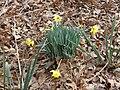 Daffodils-in-forest.jpg