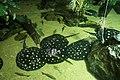 Dallas World Aquarium January 2019 07 (polka-dot stingrays).jpg