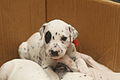 Dalmatian puppy, three weeks-9.JPG