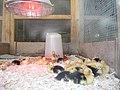 Dawlish , Ducklings in Incubation - geograph.org.uk - 1345906.jpg