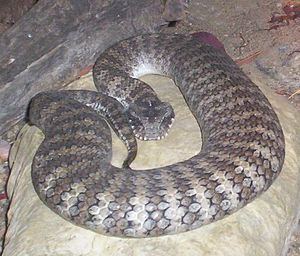 Acanthophis - Death Adder. Photo taken at Brisbane Forest Park, Brisbane, Queensland, Australia