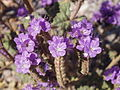 Death Valley Flowers (2340570127).jpg
