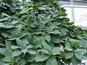 Deherainia smaragdina