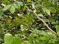 Dendrelaphis tristis (4195454832).jpg
