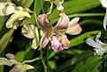 Dendrobium Haleahi Sandstone 0zz.jpg