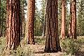 Deschutes National Forest, old growth ponderosa pine stand-2 (37092584985).jpg