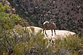 Desert bighorn sheep often blend into their surroundings, but can be spotted by the careful eye. (ba0c4a7a-9da9-4a4d-8c0d-71e71016c851).jpg