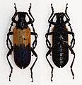 Desmocerus palliatus (16466002695).jpg