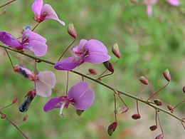 Desmodium discolor flowers.jpg