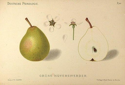 Deutsche Pomologie - Birnen - 085