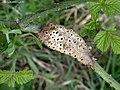 Diastrophus rubi on Bramble Rubus fruticosus (25839079428).jpg