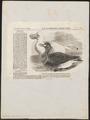 Didus ineptus - 1856 - Print - Iconographia Zoologica - Special Collections University of Amsterdam - UBA01 IZ15600001.tif